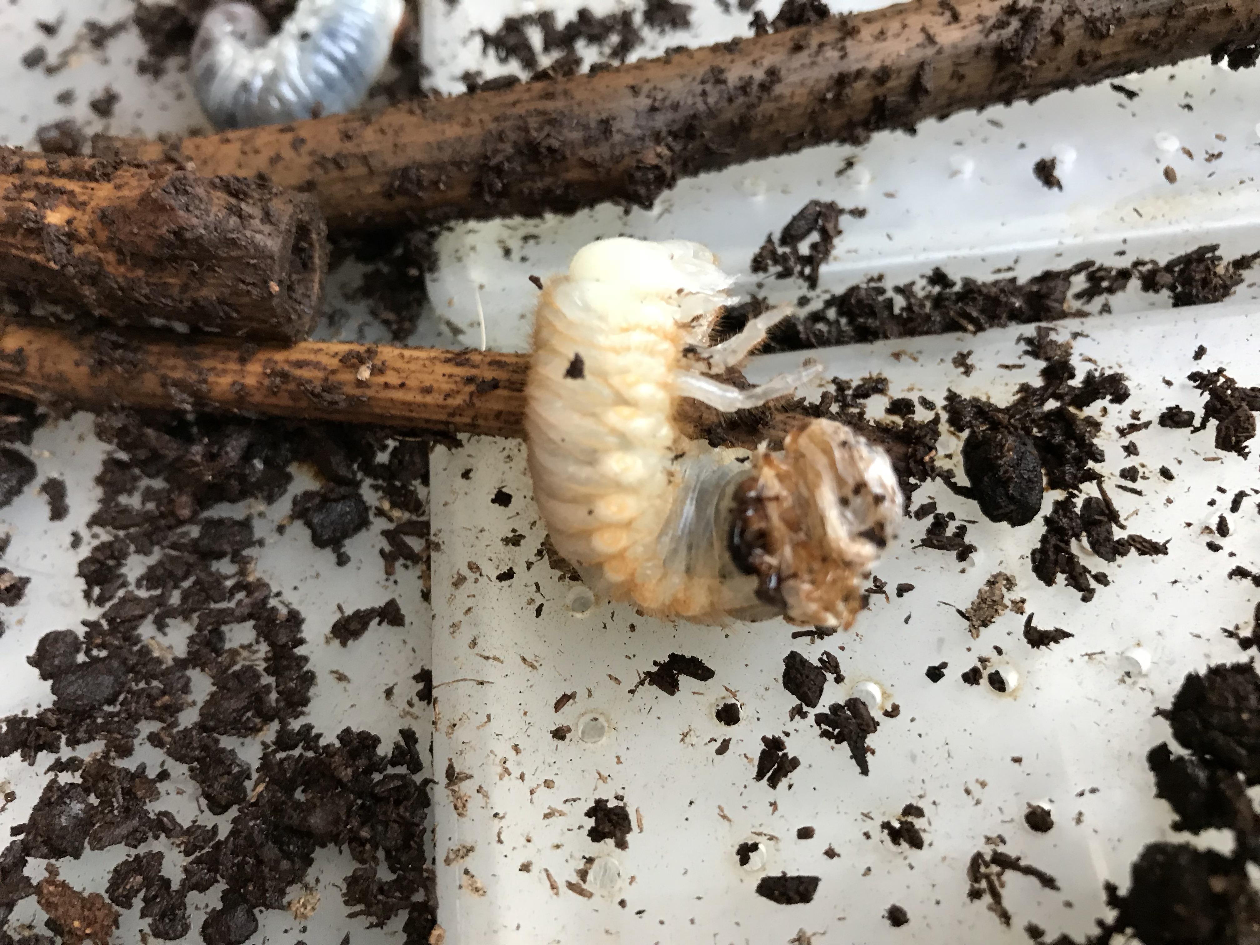 カブトムシ 幼虫 出 て くる